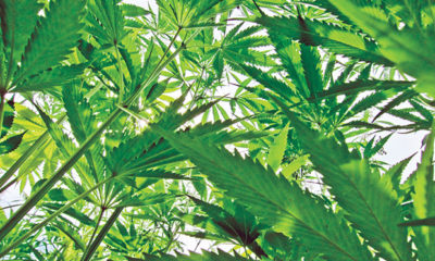 Nature's Root: The Fruits of a Hemp Economy