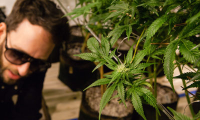 Learning How to Grow Cannabis with a Master Cultivator