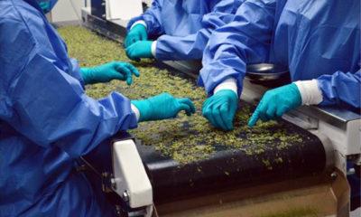 "Canada Approves Testing ""Pharmaceutical-Grade"" Cannabis"