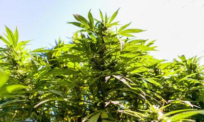 Cannabis Is a Plant: UC Berkeley Botanical Garden Hosts Lecture Series